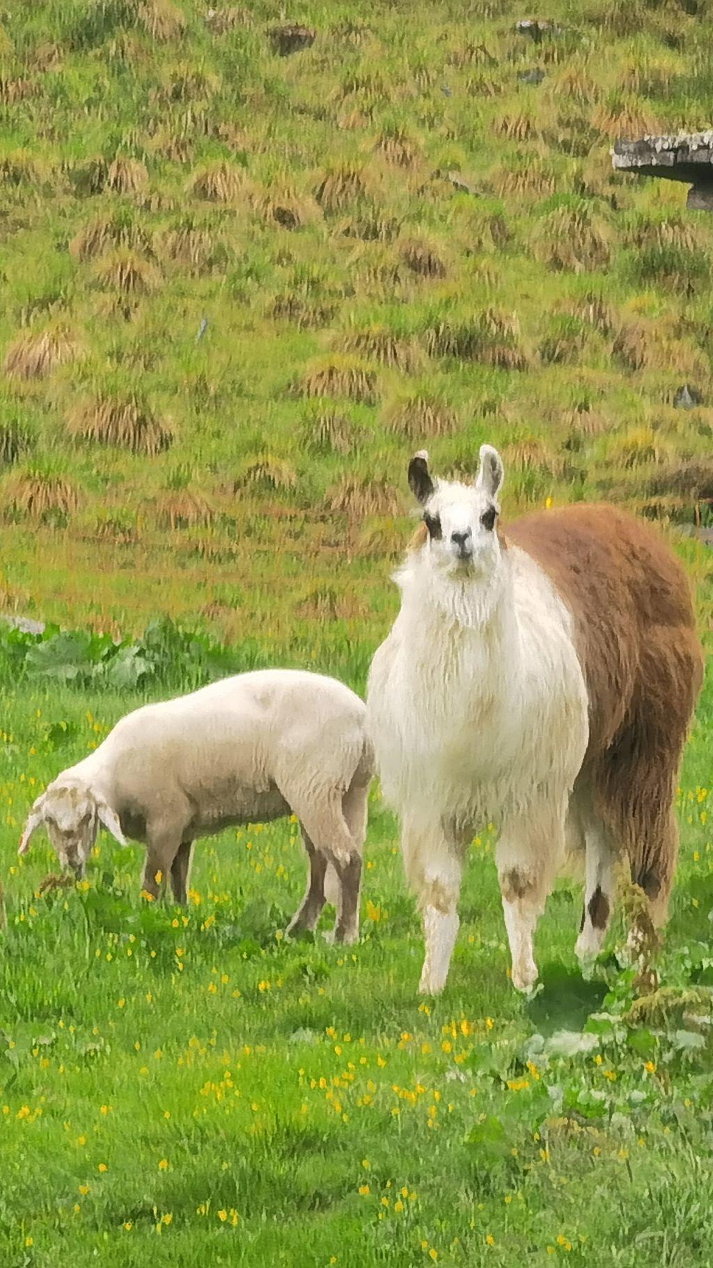 Das Schaf Nr. 7